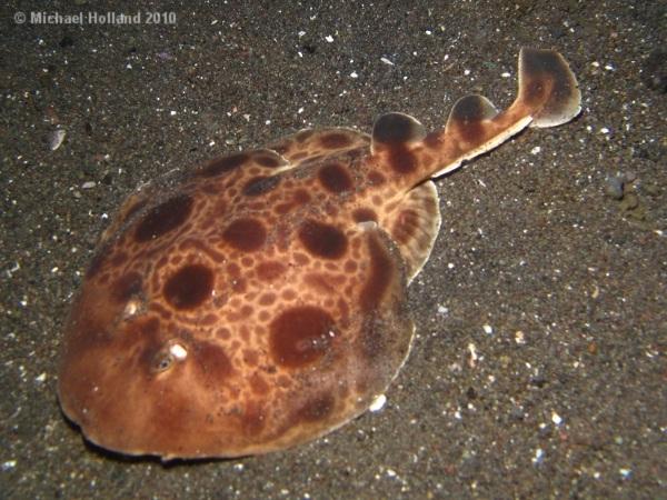 Torpedo ray-Most Dangerous Ocean Animals
