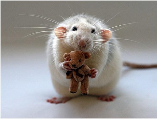 Rat-Cutest Animals Ever