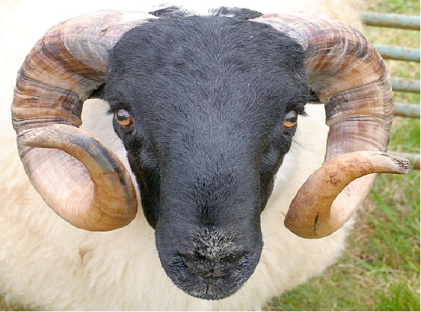 Shoat-Coolest Hybrid Animals