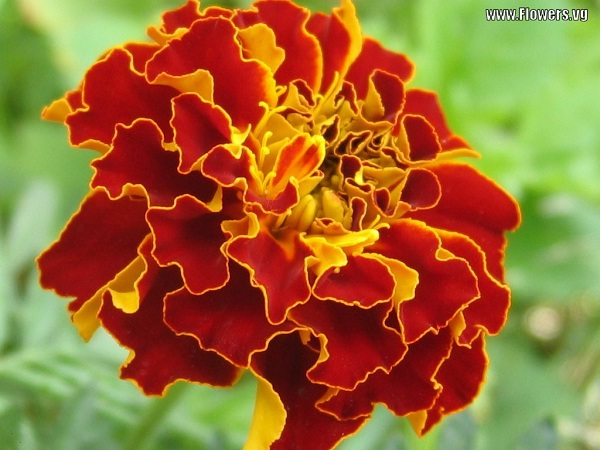 Marigold-Most Beautiful Flowers In The World