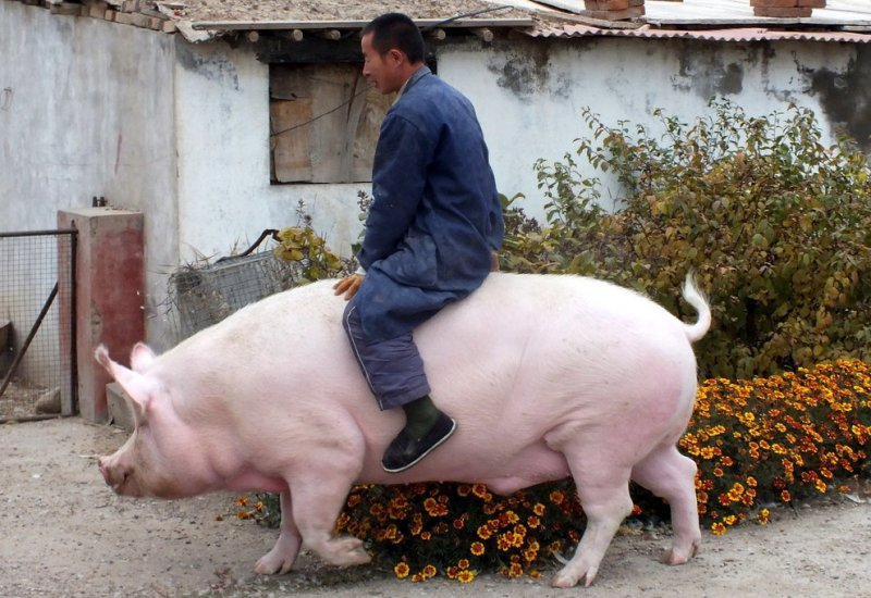 The Big Pig Ride-15 Images That Will Make You Say WTF!