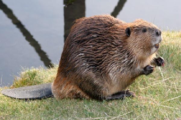 Beaver-Weird Facts About Animals