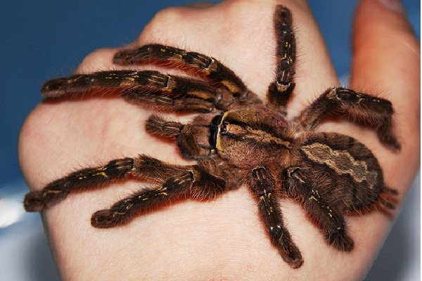 Fringed Ornamental Tarantula-Dangerous Spiders In The World