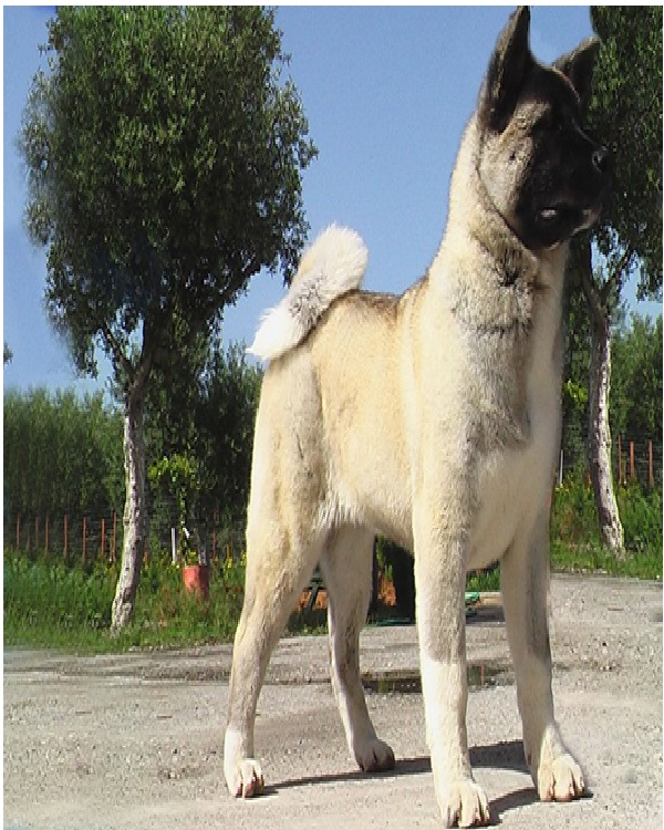 Akita-Most Expensive Dogs In The World