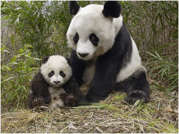 Baby Pandas Leave The Nest Early-Amazing Facts About Pandas