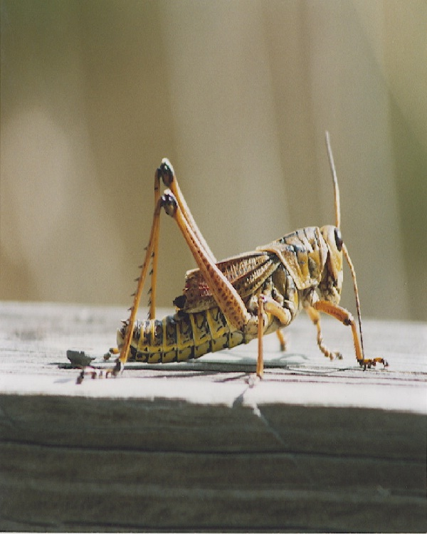 Crickets-Edible Insects