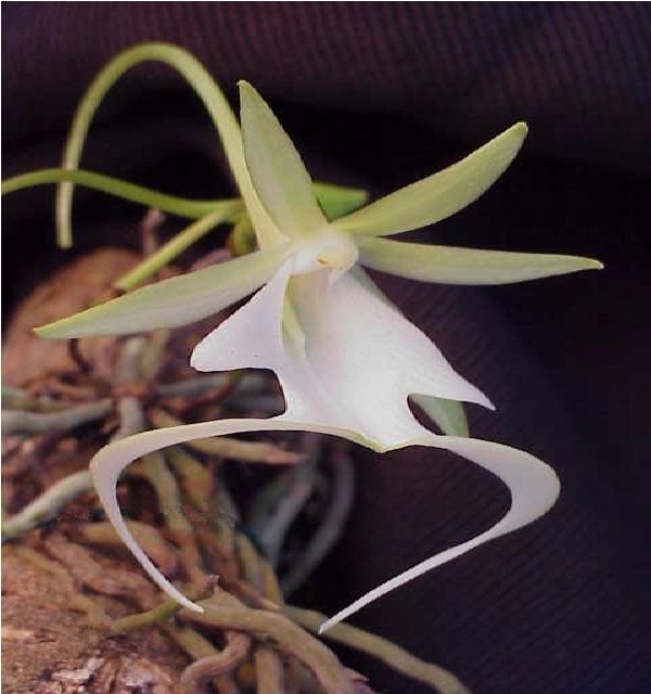 The Ghost Orchid-Extremely Rare Flowers