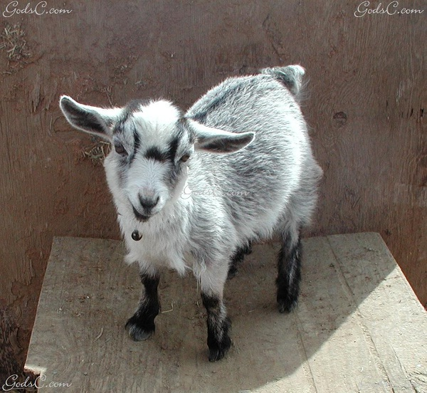 Pygmy goat-Unusual Pets That Are Legal To Own