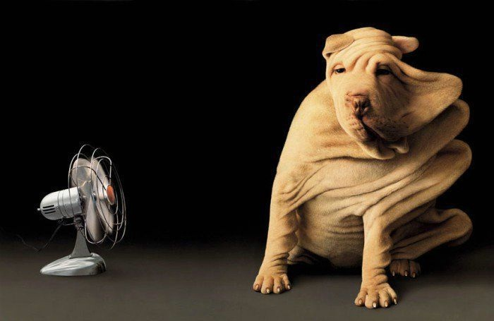 Wrinkles are blown away-Cool Wrinkly Dogs