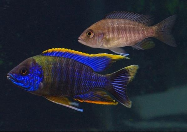 Peacock-Most Beautiful Fishes
