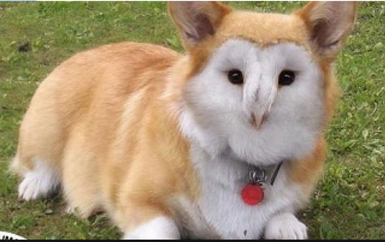 A corgie owl-Dirds Are So Cool