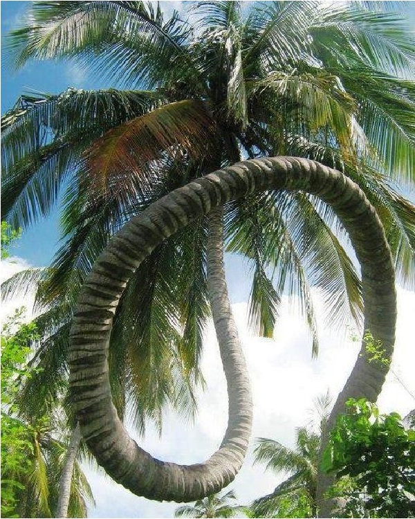 Rolling Coconut Tree-Amazing Trees