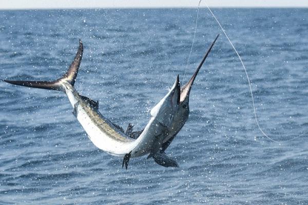 Billfish-Most Dangerous Ocean Animals