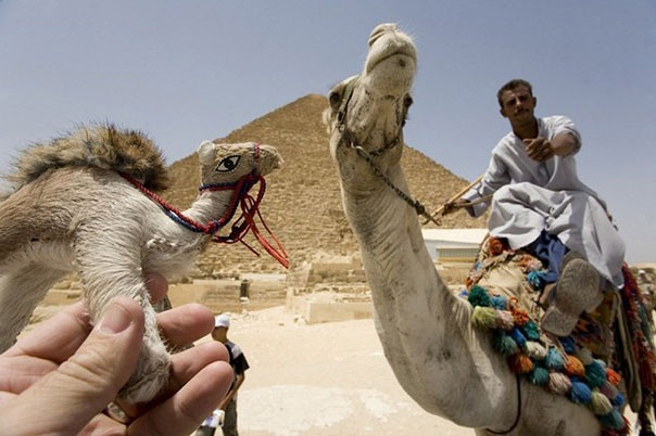 Mean Little Camel-Amazing Photos With Optical Illusions