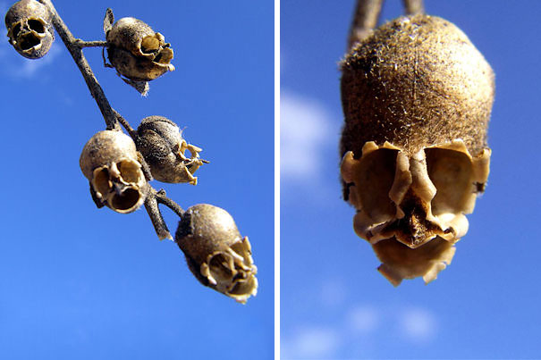Snap Dragon Seed Pod-15 Awesome Flowers That Don't Look Like Flowers At All
