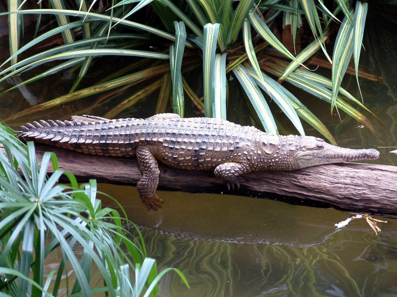 Freshwater Crocodile-15 Super Cool Animals That You May Find Only In Australia
