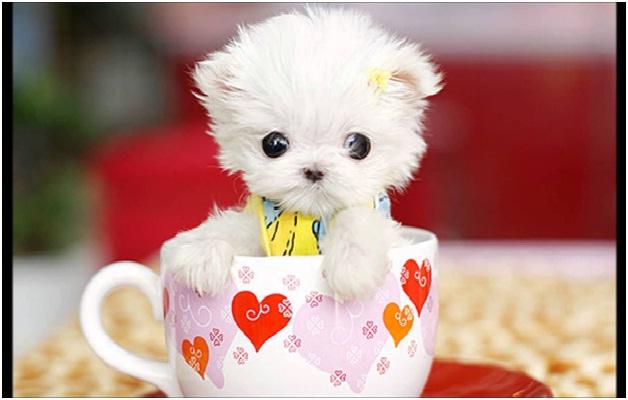 Maltese Puppy Cutest Animals Ever