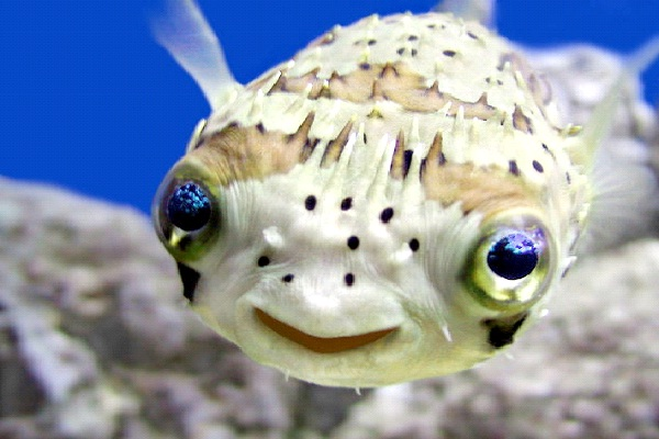 Pufferfish-Most Poisonous Foods We Like To Eat