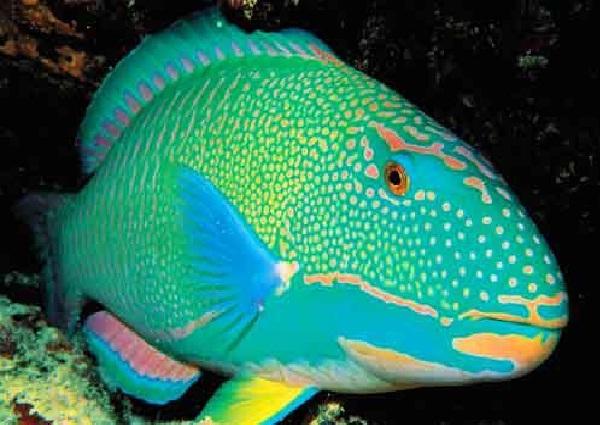 Rainbow Parrotfish-Most Beautiful Fishes