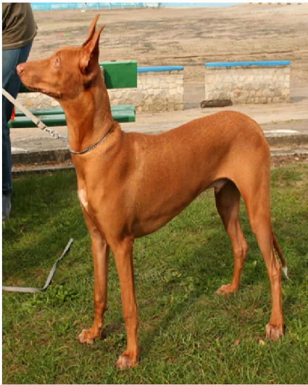 Pharaoh Hound-Most Expensive Dogs In The World