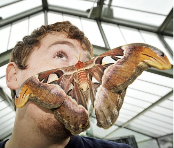 Atlas Moth-Real Giant Bugs