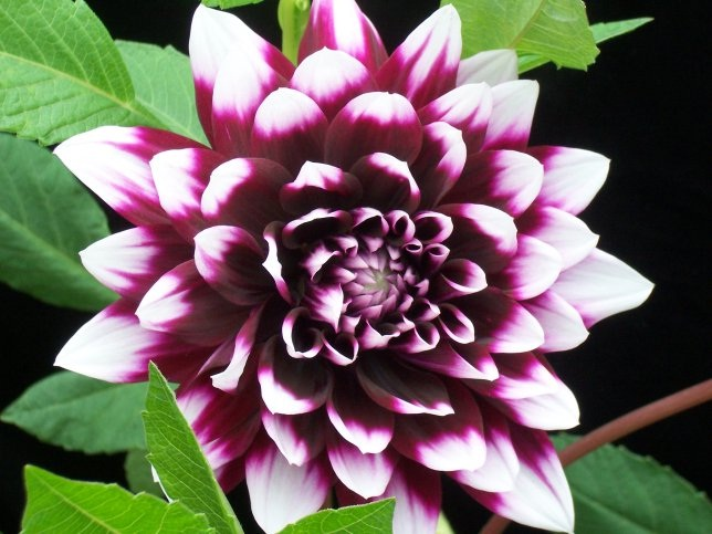 Dahlia-Most Beautiful Flowers In The World