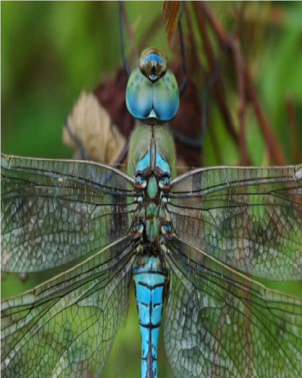 Dragonfly-Edible Insects