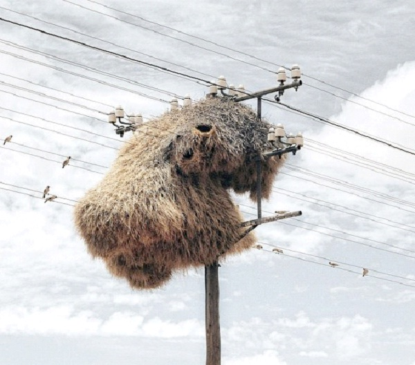 On A Telephone Pole-Most Unusual Places For A Bird's Nest