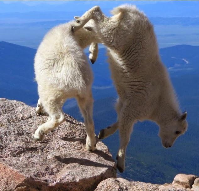 Cliff acrobatics-Photos Of Goats On Cliffs