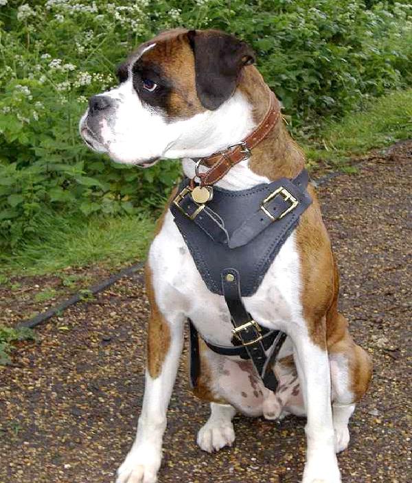 Boxer-Most Aggressive Dog Breeds