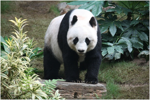 Pandas are Pigeon-Toed-Amazing Facts About Pandas