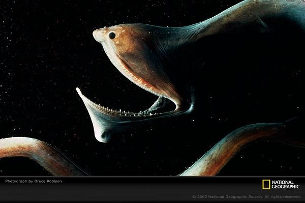Gulper Eel-Horrible Deep Sea Creatures