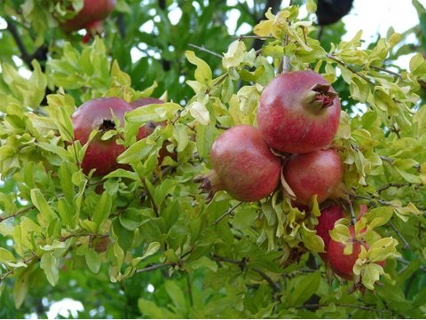 Pomegranate-Some Favorite Fruits And Vegetables And How They Are Grown