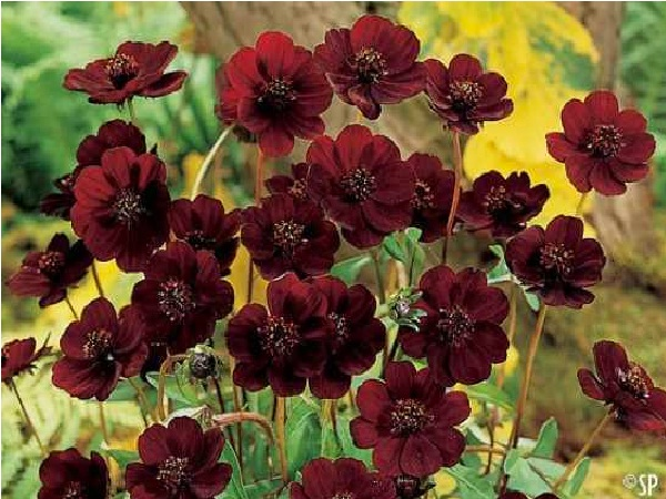 Chocolate Cosmos-Extremely Rare Flowers