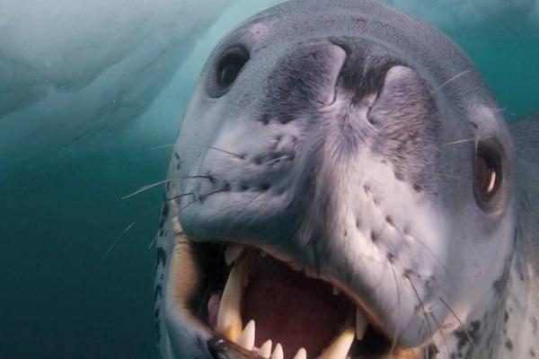 Leopard seal-Most Dangerous Ocean Animals