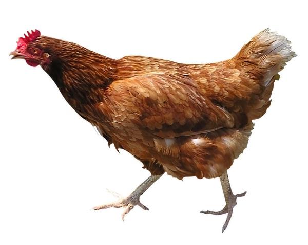 Chicken-Best Animals For Pets