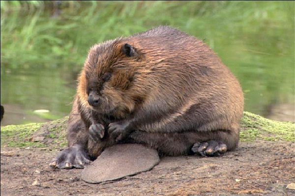 Beaver - Introvert, Sensing, Thinking, Judging (ISTJ)-Know What Animal You Are Through Personality Test