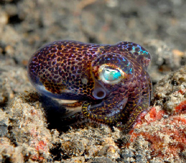 Hawaiian Bobtail Squid-Amazing Bioluminescent Organisms