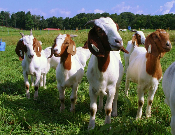 Goats-Weird Alternative Currencies