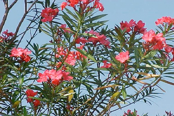 Oleander-Common But Deadly Plants