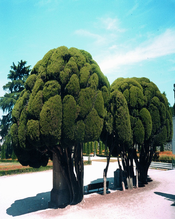 Topiary Tree-Amazing Trees
