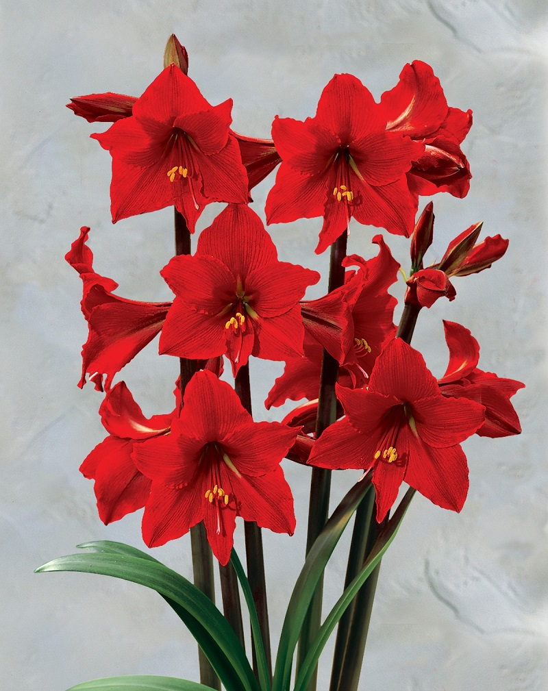 Amaryllis-12 Most Beautiful Flowers In The World