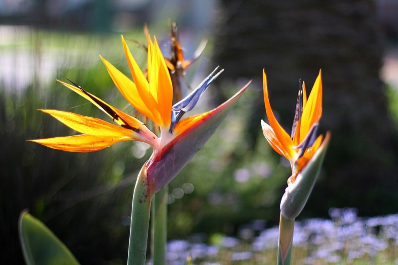 Bird Of Paradise-12 Most Beautiful Flowers In The World