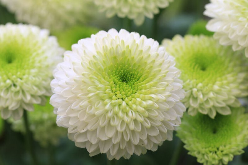 Chrysanthemum-12 Most Beautiful Flowers In The World