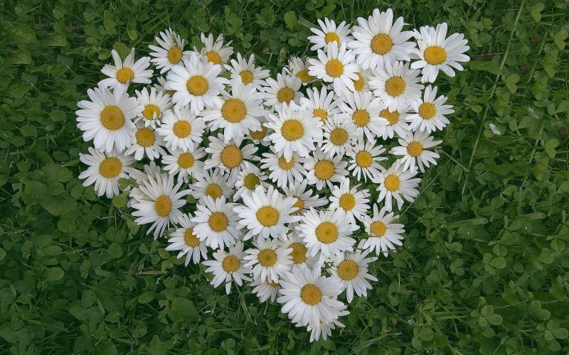 Daisies-12 Most Beautiful Flowers In The World