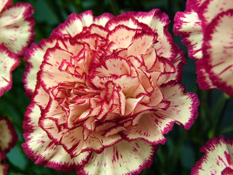 Dianthus (Carnations)-12 Most Beautiful Flowers In The World