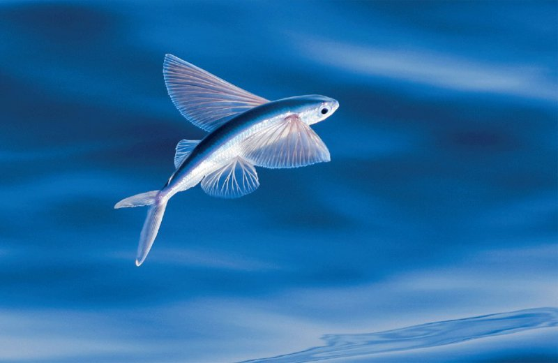 Flying Fish-13 Awesome Pictures That Will Make Your Day