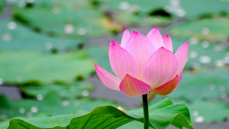Lotus-12 Most Beautiful Flowers In The World