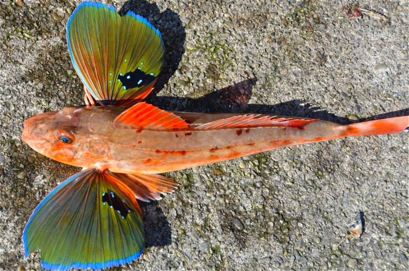 Sea Robin-13 Awesome Pictures That Will Make Your Day