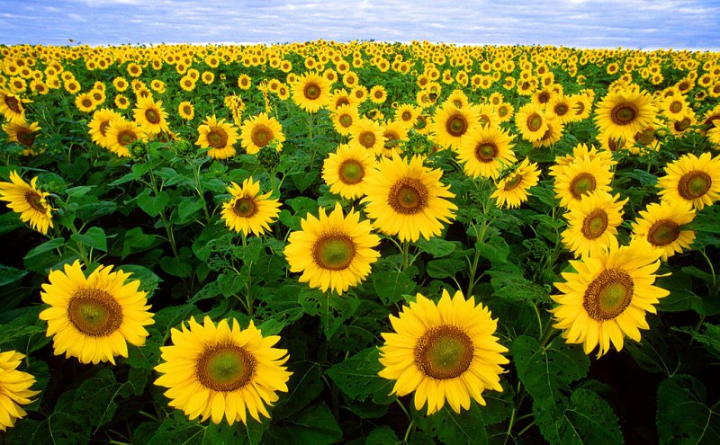 Sunflower-12 Most Beautiful Flowers In The World